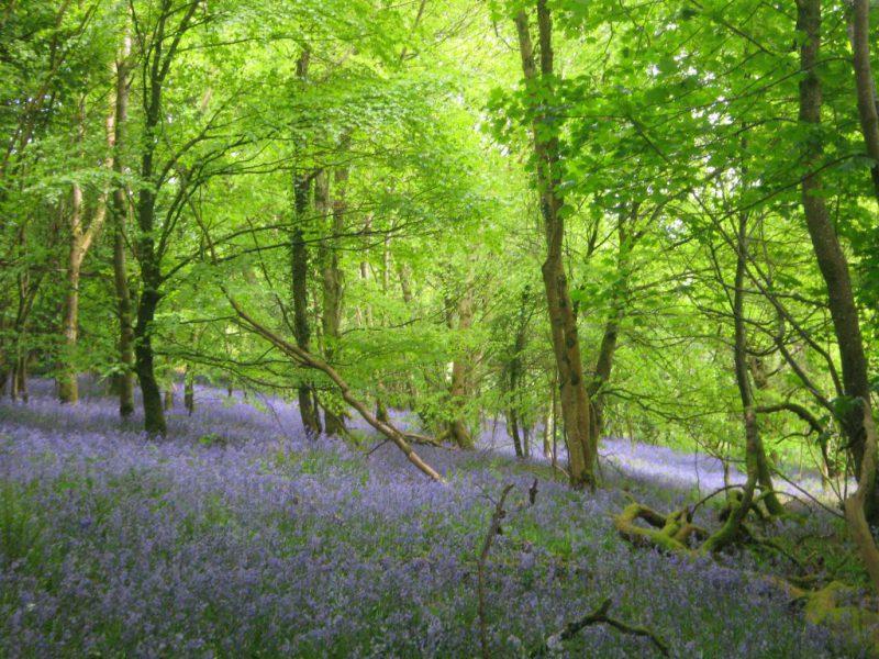 Bluebell woods in Knockbarron Kinnitty